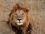 Lion Male Photographic Print