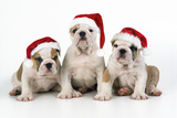 Bulldog Puppies Wearing Christmas Hats Photographic Print