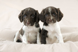 Springer Spaniel Puppies Sitting on Blanket Photographic Print