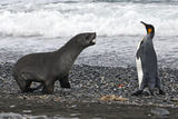 Antarctic Fur Seal Photographic Print
