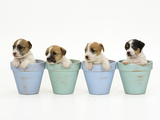 Jack Russell Terrier Dog Puppies in Flowerpots Fotografisk tryk