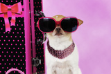 Chihuahua Wearing Sunglasses with Girly Props Photographic Print