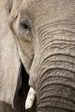 African Elephant Fotografisk tryk