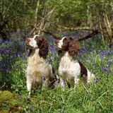 English Springer Spaniel Dogs in Bluebell Woodland Photographic Print