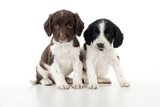 Springer Spaniel Puppies Sitting Together Photographic Print