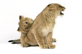 Lion Cub (Approx 16 Weeks Old) Biting Another Cub Photographic Print