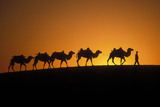 Bactrian Camel Camel Train Photographic Print