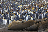Southern Elephant Seal and Penguin Colony Photographic Print