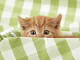 Kitten on Green Gingham Photographic Print