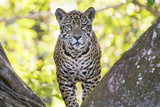 Jaguar One Year-Old Cub Photographic Print
