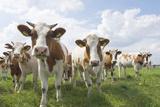 Simmental Cattle Cows in Meadow Fotografisk tryk