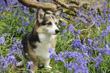 Pembroke Welsh Corgi Sitting in Bluebells Photographic Print