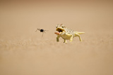 Namaqua Chameleon Hunting a Dune Beetle Photographic Print