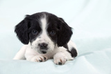 Springer Spaniel Puppy Laying on a Blanket Photographic Print
