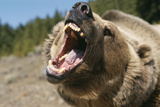 Grizzly Bear Roars at Camera Photographic Print