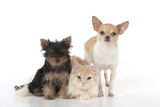 Dog and Cat Yorkshire Terrier Puppy Sitting And Photographic Print