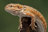 Yellow-Headed Bearded Dragon Photographic Print