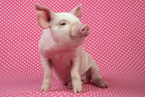 Piglet Sitting on Pink Spotty Blanket Photographic Print