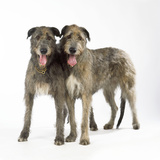 Two Irish Wolfhounds Photographic Print