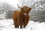 Scottish Highland Cow in the Snowy Foreland of River Ijssel Fotografisk tryk