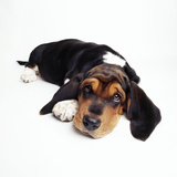 Basset Hound Dog Photographic Print