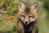 Red Fox 7 Week Old Cub Photographic Print