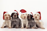Spinone Dog Puppies Wearing Christmas Hats Photographic Print