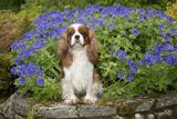 Cavalier King Charles Sitting in Garden Photographic Print
