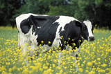 Friesian Cow in a Meadow, Yellow Coloured Photographic Print