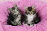 Kittens on Pink Towel Photographic Print