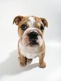 Bulldog Puppy, Sitting Photographic Print