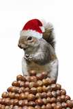 Grey Squirrel on Pyramid of Hazelnuts Photographic Print