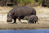 Hippo Mother with Young One Photographic Print