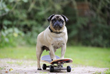 Pug on Skateboard Photographic Print