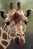 Reticulated Giraffe Photographic Print