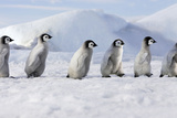 Emperor Penguins, Young Ones Walking in a Line Photographic Print