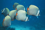 Collared Pakistan Butterfly Fish Reproduction photographique