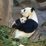 Giant Panda Female Holding Four Month Old Young Photographic Print