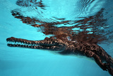 Johnston Crocodile at Surface Photographic Print