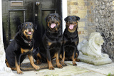 Rottweilers Sitting by Door Photographic Print