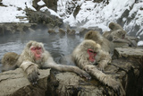 Snow Monkeys Photographic Print