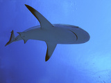 Grey Reef Shark There are Thousands of These Photographic Print