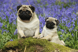 Pug Standing Next to Pug Puppy in Bluebells Photographic Print