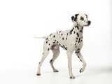Dalmatian Standing Photographic Print