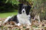 Border Collie in Leaves Photographic Print