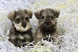 Schnauzer Puppies Sitting in Paper Shreddings Photographic Print
