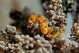 Pygmy Seahorse This Is the a New Kind of Pigmy Photographic Print