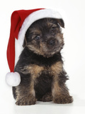 Norfolk Terrier Dog Puppy Wearing Christmas Hat Photographic Print