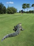 American Alligator on Golf Course Reprodukcja zdjęcia