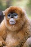 Snub Nosed Monkey Photographic Print